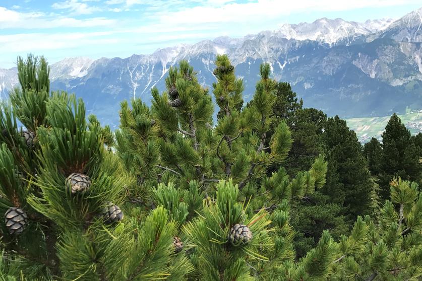 Zirbenkiefern mit Alpenlandschaft