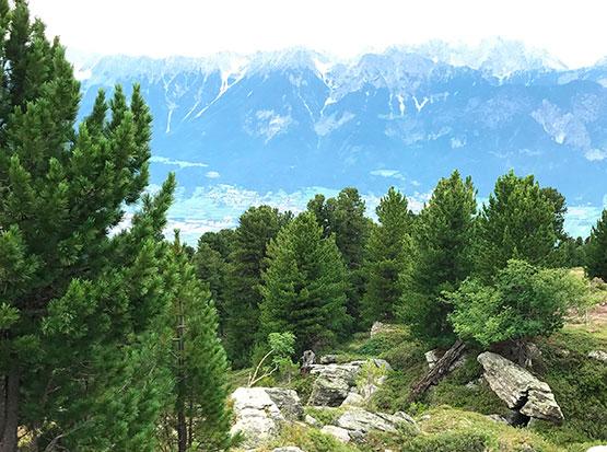 Die Zirbe, Königin der Alpen