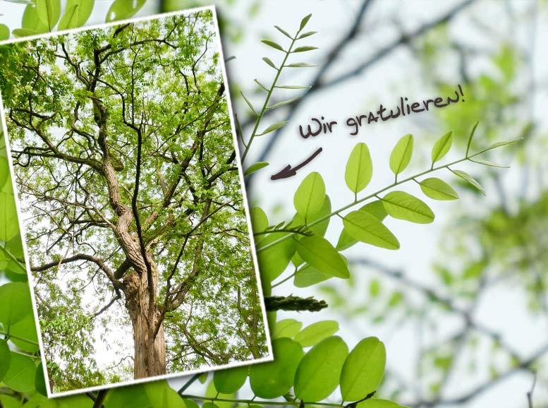 Baum des Jahres 2020: Die Robinie