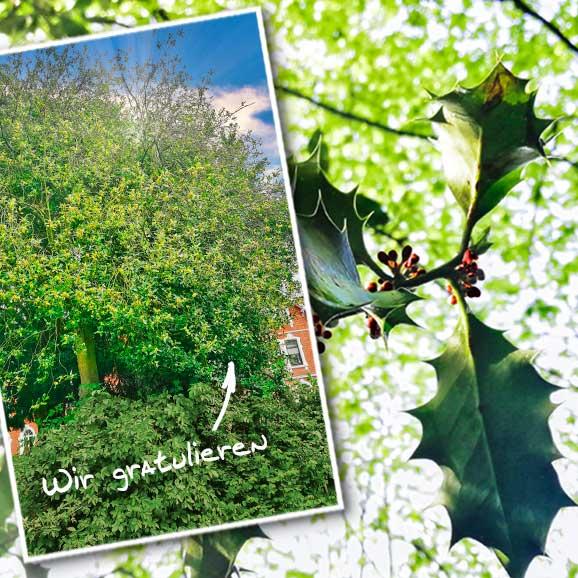 Stechpalme: Baum des Jahres 2021, HolzLand Köster in Emmerke