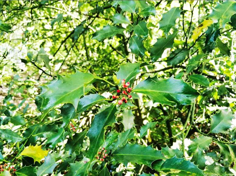 Blätter und Beeren der Stechpalme, HolzLand Köster